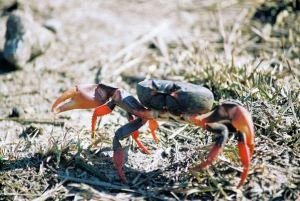 cuba_crab